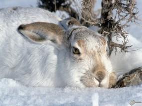 Обои Заяц-беляк: Снег, Заяц, Зайцы