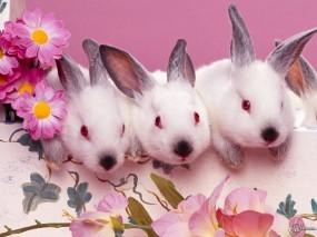Обои Три белых крольченка: Кролики, Зайцы