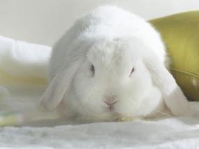 Обои Белый кролик: Белый, Кролик, Зайцы