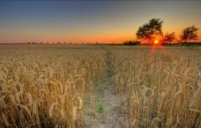 Обои Поле пшеницы: Солнце, Пшеница, Закат, Поле, Природа