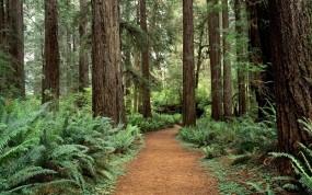 Обои Лесная тропинка в Вашингтоне: Лес, Деревья, Тропа, Природа