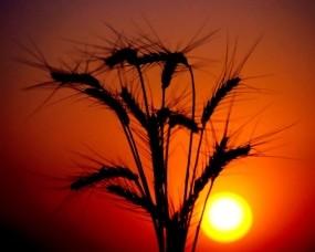Обои Колосья на закате: Солнце, Закат, Колосья, Природа