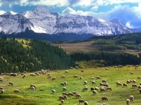 Обои Стадо овец: Горы, Поле, Овца, Пастбище, Природа