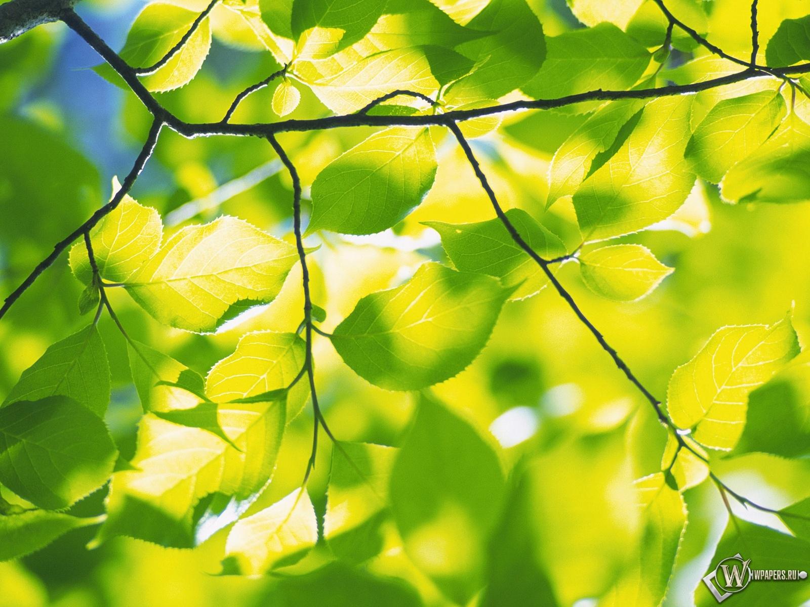 Обои весенняя зелень зелень листья
