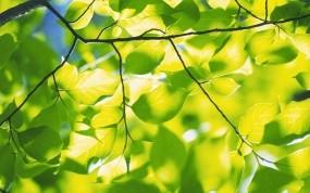 Обои Весенняя зелень: Зелень, Листья, Весна, Природа