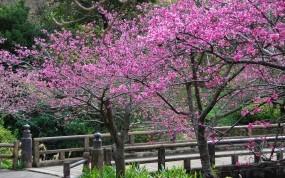 Обои Сакура в цвету: Деревья, Цветы, Весна, Сакура, Природа