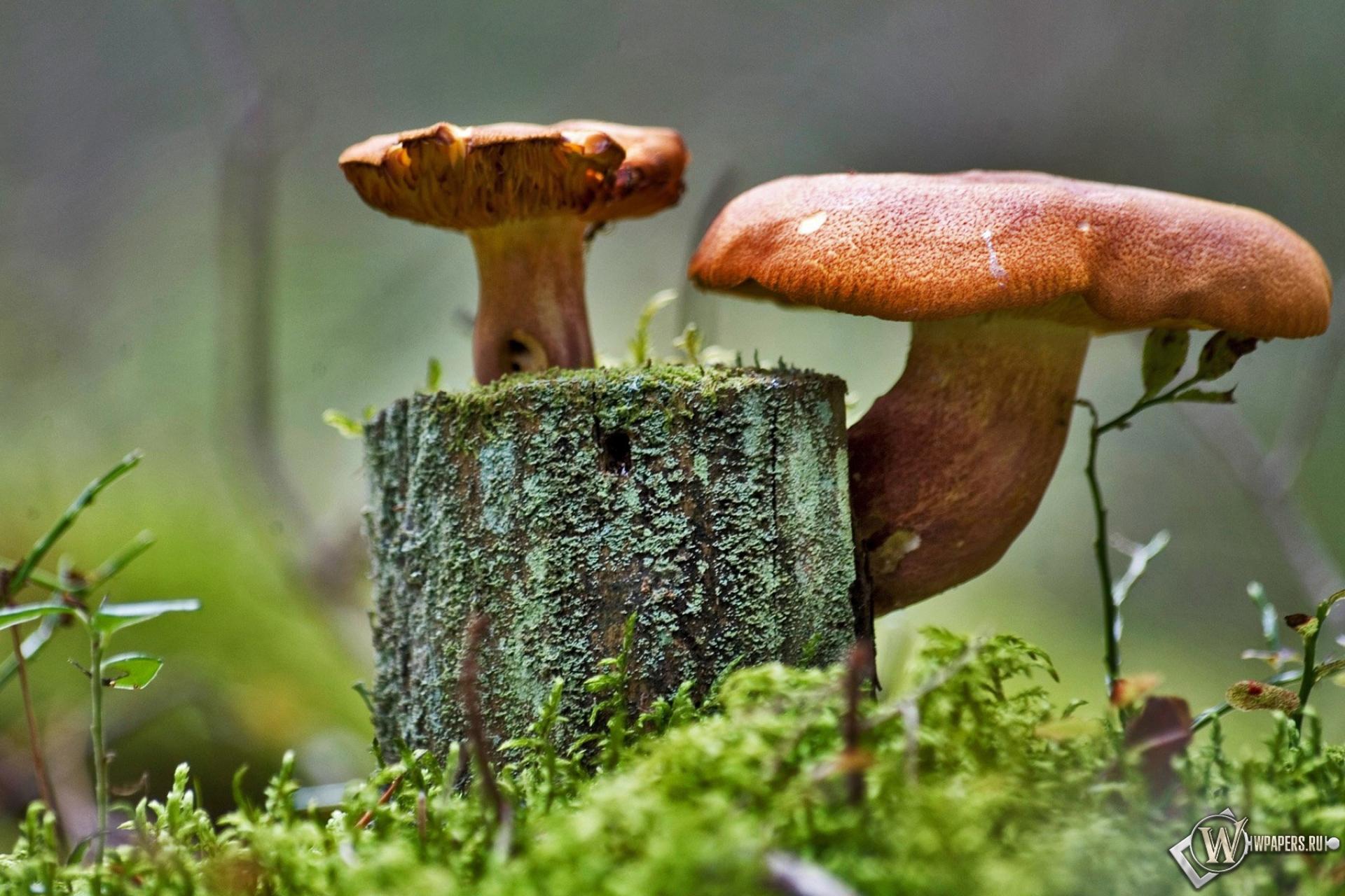 Прозрачный гриб  № 3337638  скачать