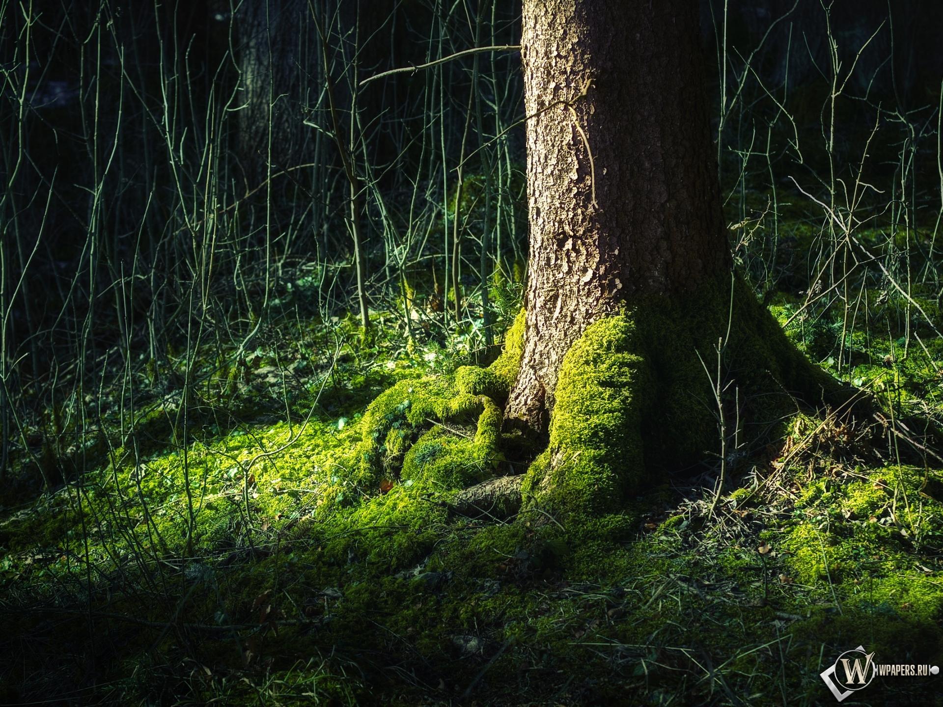 Обои для рабочего стола лес мох