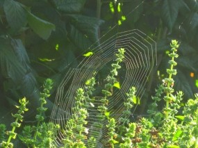 Обои Паутинка: Сад, Паутина, Тонкая, Радиус, Природа