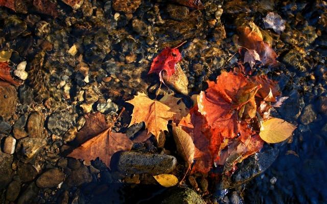 красные листья в воде