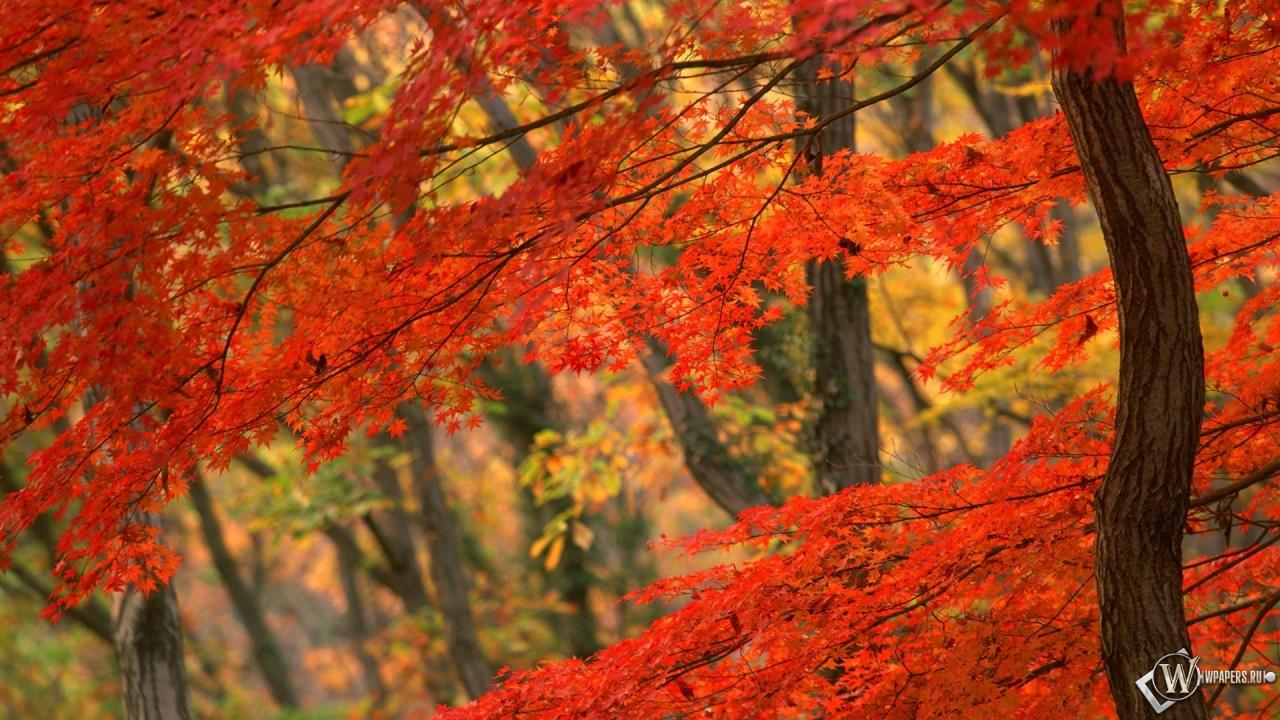 Японская осень осень дерево япония