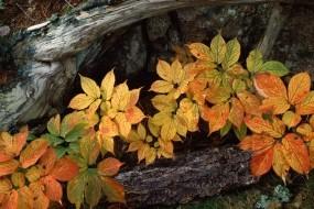 Обои Осенние листья: Осень, Дерево, Листья, Природа