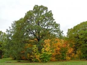 Обои Раскидистый дуб: Деревья, Осень, Дуб, Осень