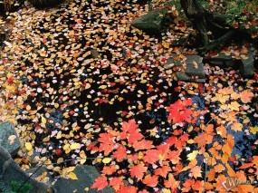 Обои Желтая листва в луже: , Осень