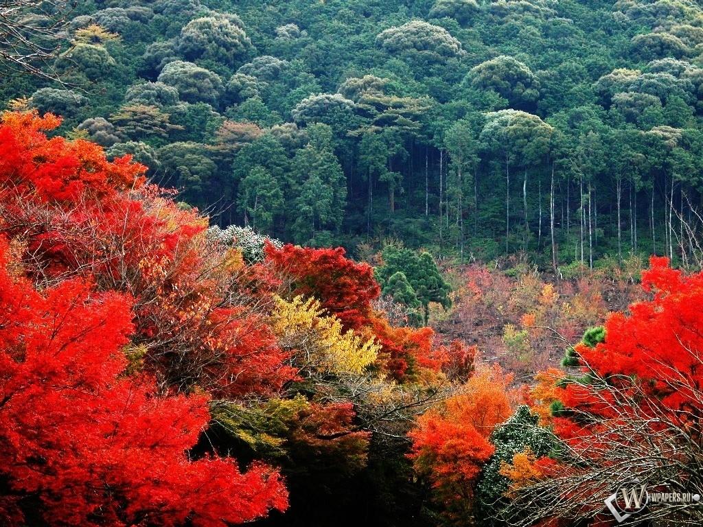 Обои красно зеленый лес осенью 1024x768