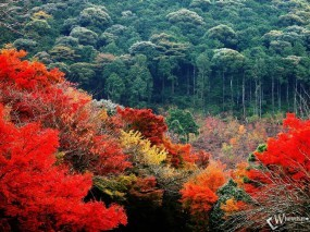 Обои Красно-зеленый лес осенью: , Осень