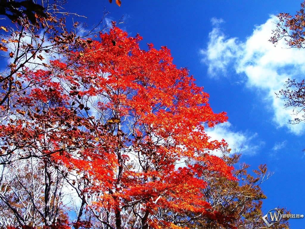 Красные осенние листья 1024x768