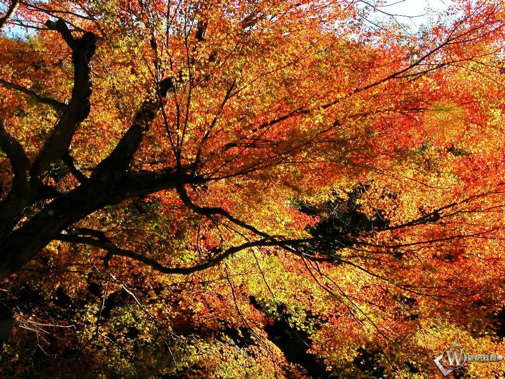 Осенний клен 1024x768
