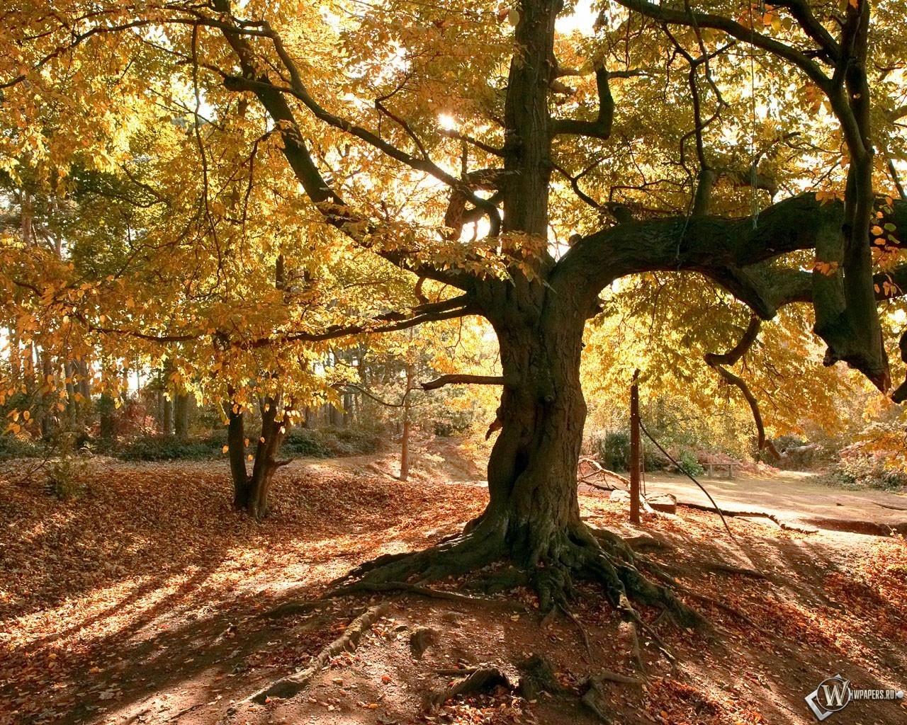 Старое осеннее дерево 1280x1024