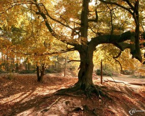 Обои Старое осеннее дерево: , Осень