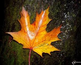 Обои Огненный кленовый лист: Пожелтевший лист, Осенний лист, Осень