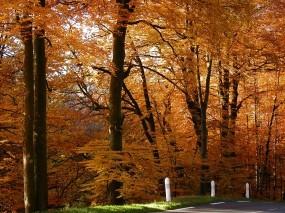 Обои Золотой лес: Лес, Осень, Осенняя пора, Золото, Осень