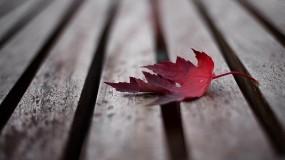Обои Кленовый лист: Дерево, Красный, Кленовый лист, Осень