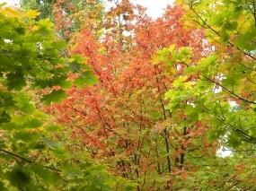 Обои Осенняя соната: Деревья, Природа, Осень, Листья, Осень