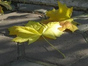 Обои Опавший клён: Осень, Клён, Листья, Осень