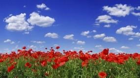 Обои Маковое поле: Небо, Лето, Маки, Прочие пейзажи