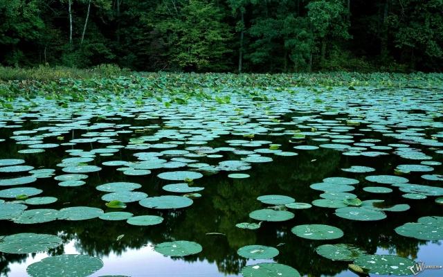 Кувшинки на болоте