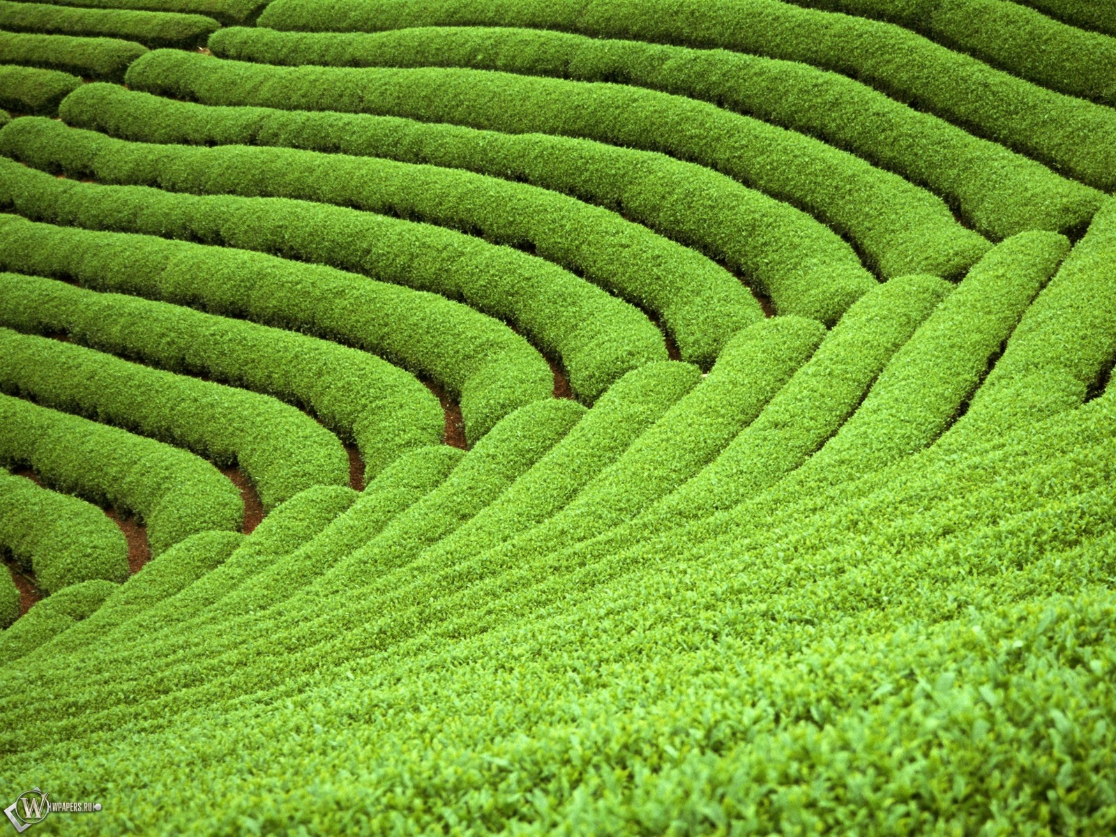 Плантации чая 1600x1200