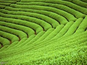 Обои Плантации чая: , Прочие пейзажи