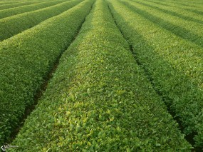 Обои Плантация чая: , Прочие пейзажи