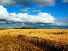 Обои Песня жаворонка: Колосья, Сбор урожая, Поле пшеницы, Прочие пейзажи