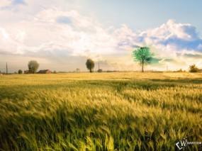 Обои Безмятежное поле: Поля, Злаки, Пшеница, Ветер, Прочие пейзажи