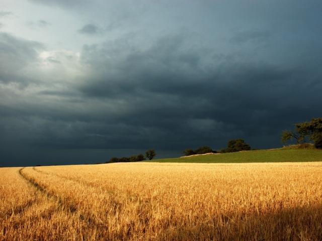 В Алтайском крае из-за плохой погоды погибло 600 тыс. га урожая