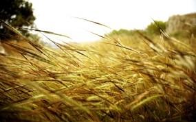 Обои Колоски в поле: Поле, Колосья, Стебли, Прочие пейзажи