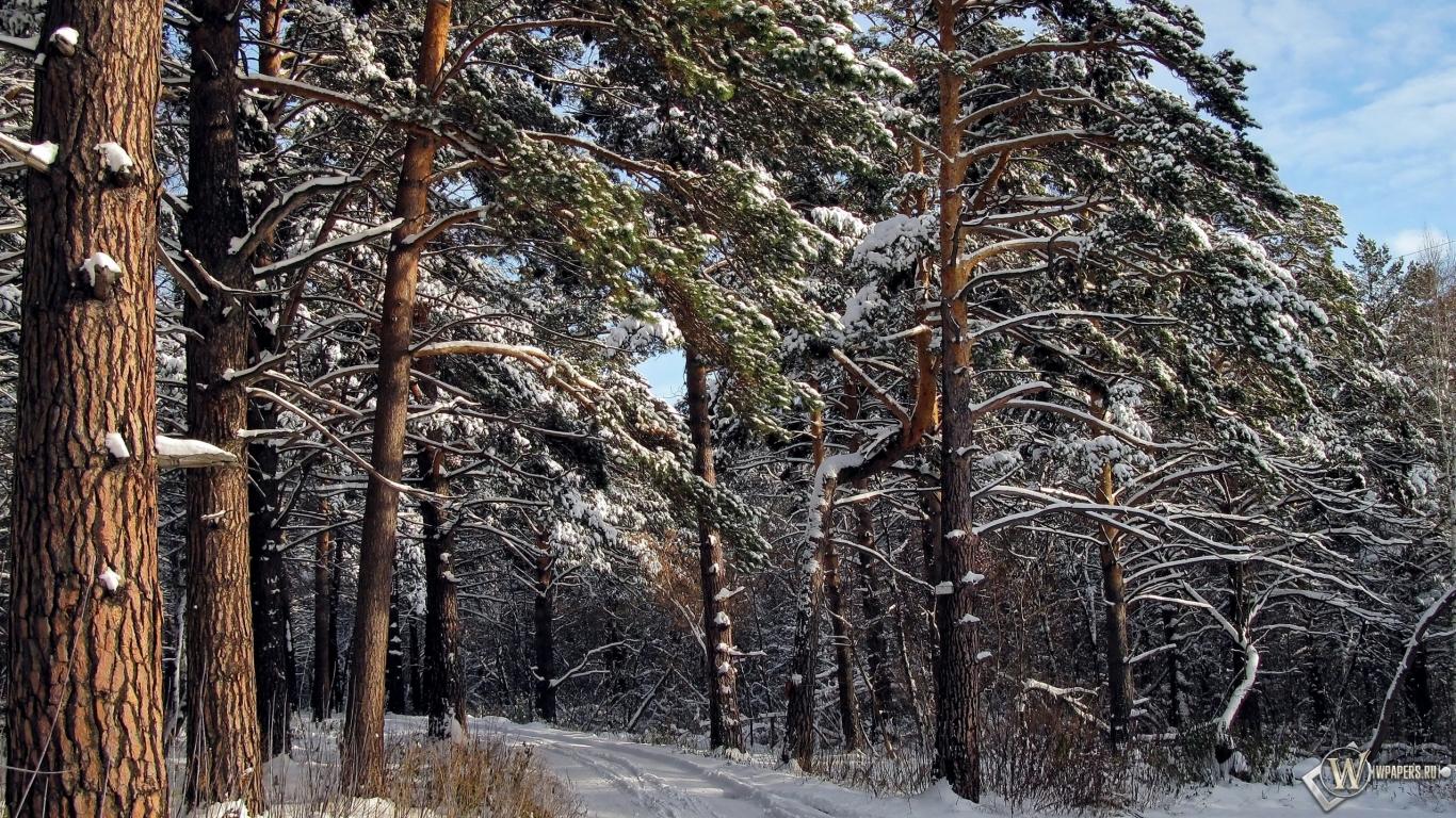 Обои зимний лес зима снег лес сосны