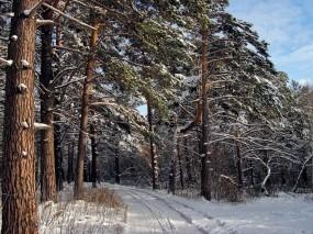 Обои Зимний лес : Зима, Снег, Лес, Сосны, Зима