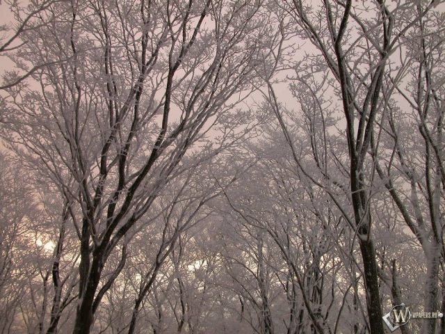 Верхушки заснеженных деревьев