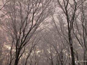 Обои Верхушки заснеженных деревьев: , Зима