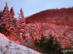 Обои Красные ели зимой: , Зима
