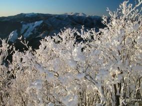 Обои Заснеженные ветки: , Зима
