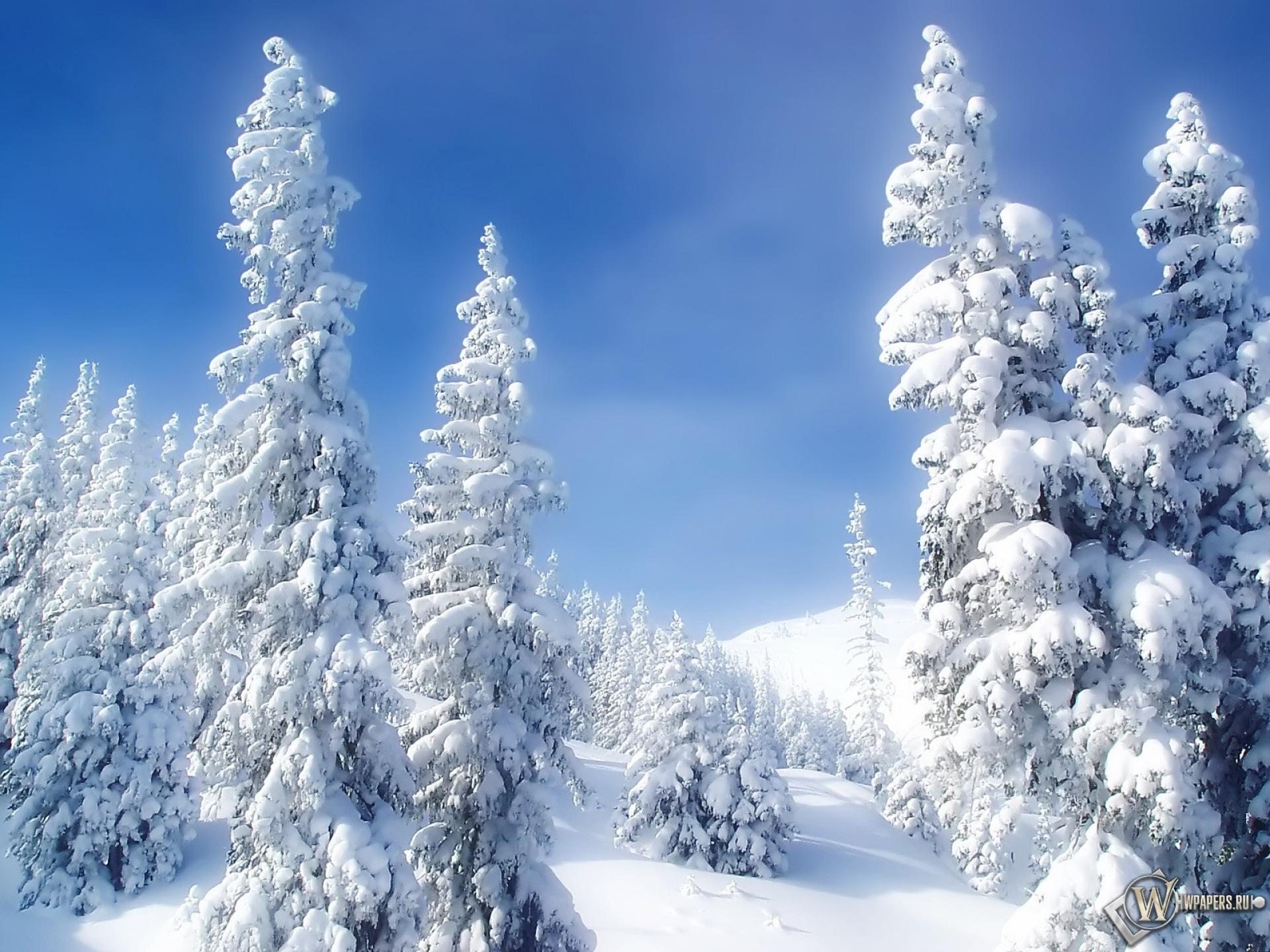Обои елки в снеегу зима снег холод