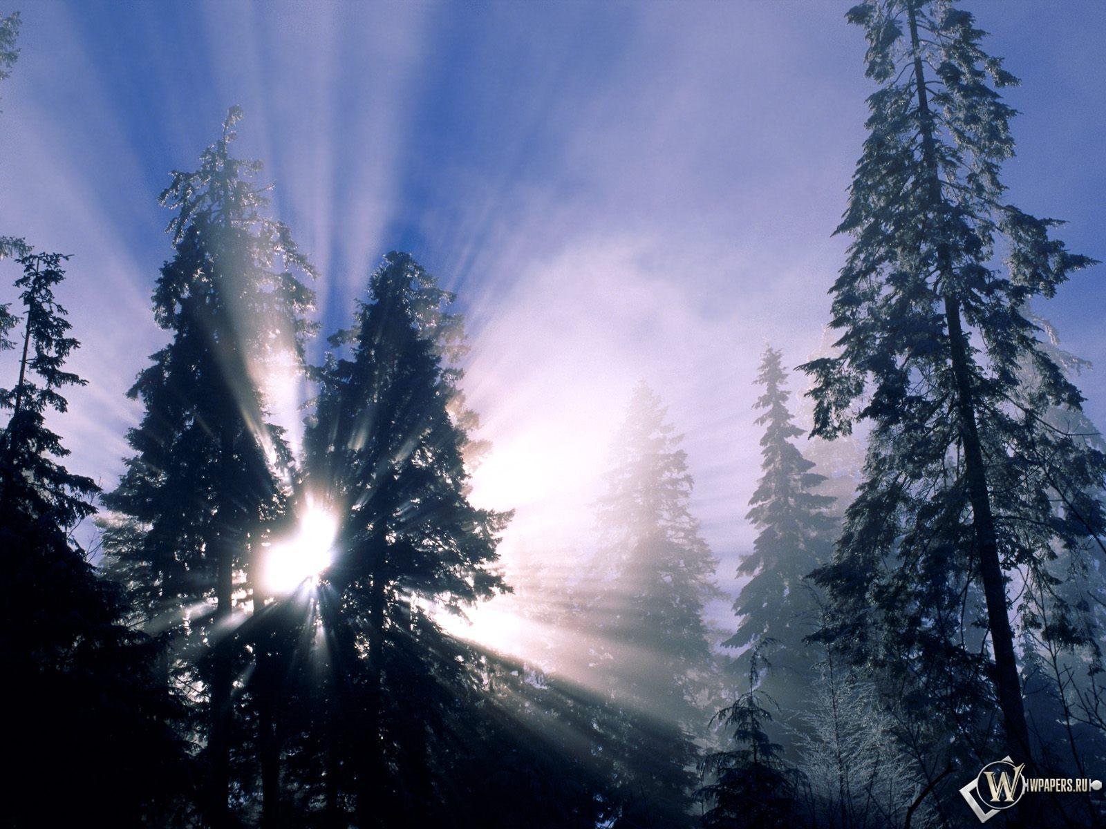 Лучи солнца через ели 1600x1200