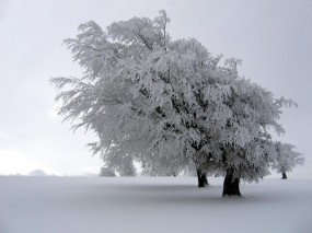 Обои Снег на дереве: Зима, Снег, Дерево, Белый, Зима