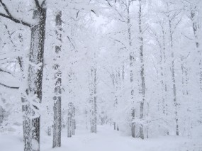 Обои Белоснежный лес: Снег, Лес, Деревья, Небо, Белый, Ветки, Зима