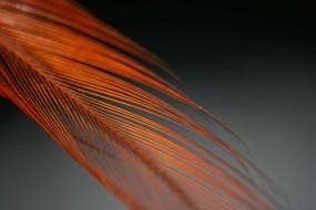 Обои Оранжевое перо: Чёрный, Перо, Разное