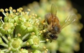 Обои Пчела: Цветок, Нектар, Пчела, Макросъемка, Насекомые